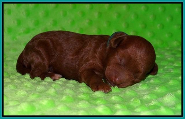 Ashby Grover pups 1 wk old 121