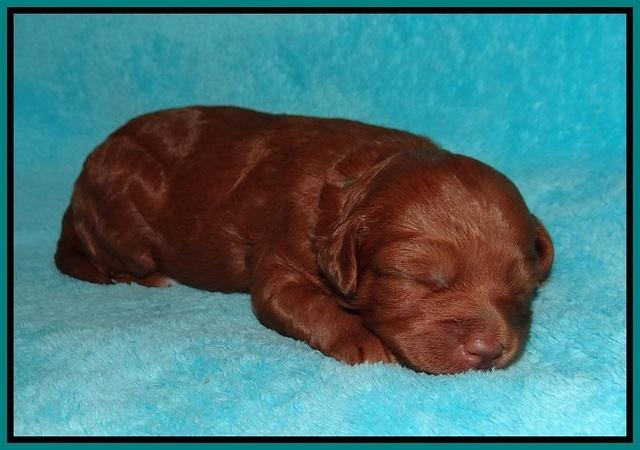 Ashby Grover pups 2 wks old 81