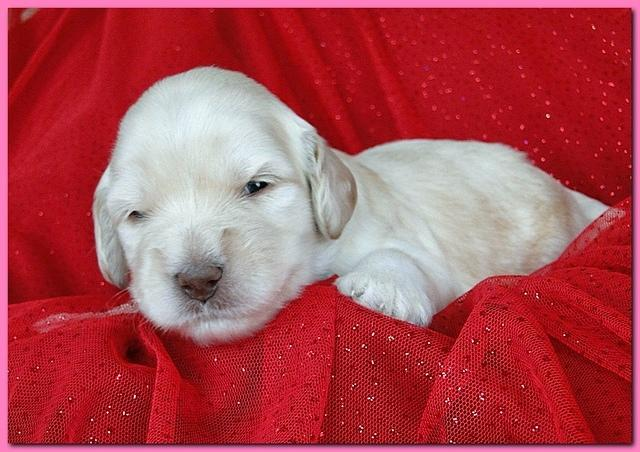 Bailey Rocco puppies 2 weeks old 028