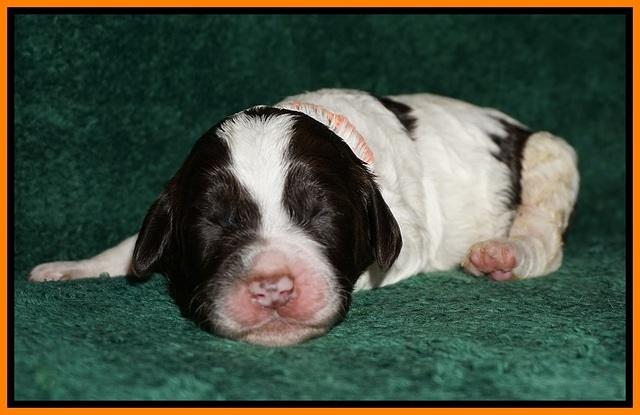 Paris Dempsey pups one wk old 24100