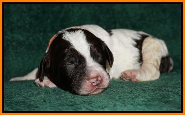 Paris Dempsey pups one wk old 25100