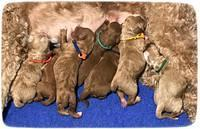 Ashby Grover pups newborn 430