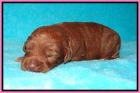 Ashby Grover pups 2 wks old 11