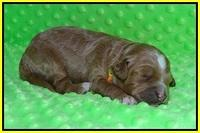 Ashby Grover pups 1 wk old 201