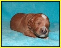 Ashby Grover pups 2 wks old 101