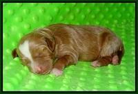 Ashby Grover pups 1 wk old 151