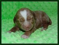Ashby Grover pups 1 wk old 161