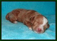 Ashby Grover pups 2 wks old 121