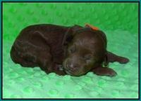 Ashby Grover pups 1 wk old 111
