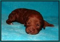 Ashby Grover pups 2 wks old 91