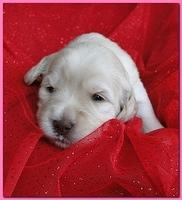 Bailey Rocco puppies 2 weeks old 022
