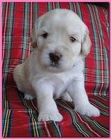 Bailey Rocco puppies 3 weeks old 014