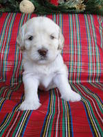 Bailey Rocco puppies 3 weeks old 015