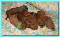 Bries newborn puppies1 7 26 09 006