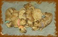 Bries puppies 1 week old lavendar blkt 037