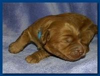 Bries puppies 1 week old lavendar blkt 001