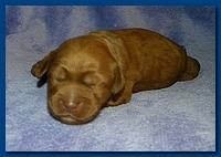 Bries puppies 1 week old lavendar blkt 027