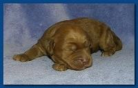 Bries puppies 1 week old lavendar blkt 028