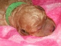 Bries puppies 1 day old pink hearts 024