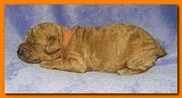 Bries puppies 1 week old lavendar blkt 013