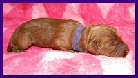 Bries puppies 1 day old pink hearts p 003