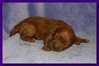 Bries puppies 1 week old lavendar blkt 016