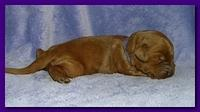 Bries puppies 1 week old lavendar blkt 018