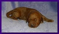 Bries puppies 1 week old lavendar blkt 019