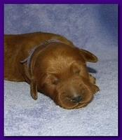 Bries puppies 1 week old lavendar blkt 020