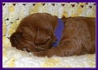 Bries puppies 2 weeks old yellow blanket 061