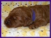 Bries puppies 2 weeks old yellow blanket 062