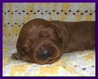 Bries puppies 2 weeks old yellow blanket 064