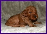Bries puppies 3 weeks old 019