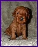 Bries puppies 3 weeks old 021