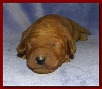 Bries puppies 1 week old lavendar blkt 002