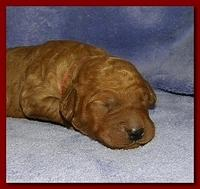 Bries puppies 1 week old lavendar blkt 003