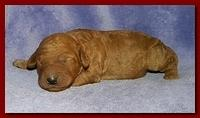 Bries puppies 1 week old lavendar blkt 004