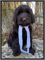 "Black boy: "" Wrigley"" 8 week weight: 11 1b 5 oz"