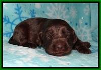 Cayman Solo pups 2 wk old 111
