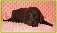 Caymen Solo pups 3 wks old 14122