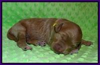 Prim and Benz pups 1 wk old41