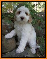 Shirley family: BEAU 8 week old weight: 7 lb 9 oz
