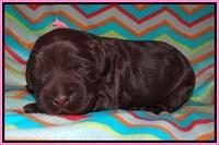 Ivory Chmapion pups 1 week old 31