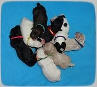 Jetta Benz Newborn pups 11