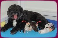 Jetta Benz Newborn pups 31