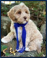 Legundary labradoodles: Ima Flirt 8 week old weight: 7 lb 8 oz