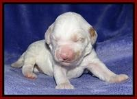 Jolie Buster pups 1 wk old 61