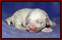 Jolie Buster pups 1 wk old 71