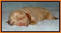 Jolie Buster puppies newborn 9 111