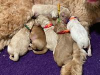 Laynie Benz pups Newborn 21